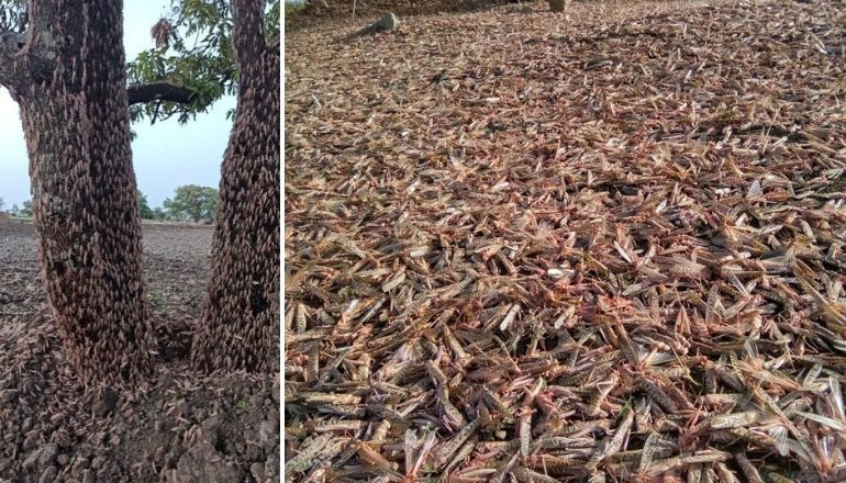 As India fights locust swarms