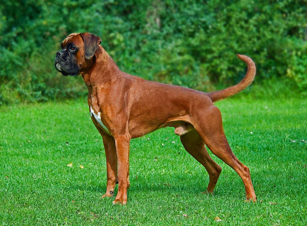 Dangerous Dog Breed: Boxer