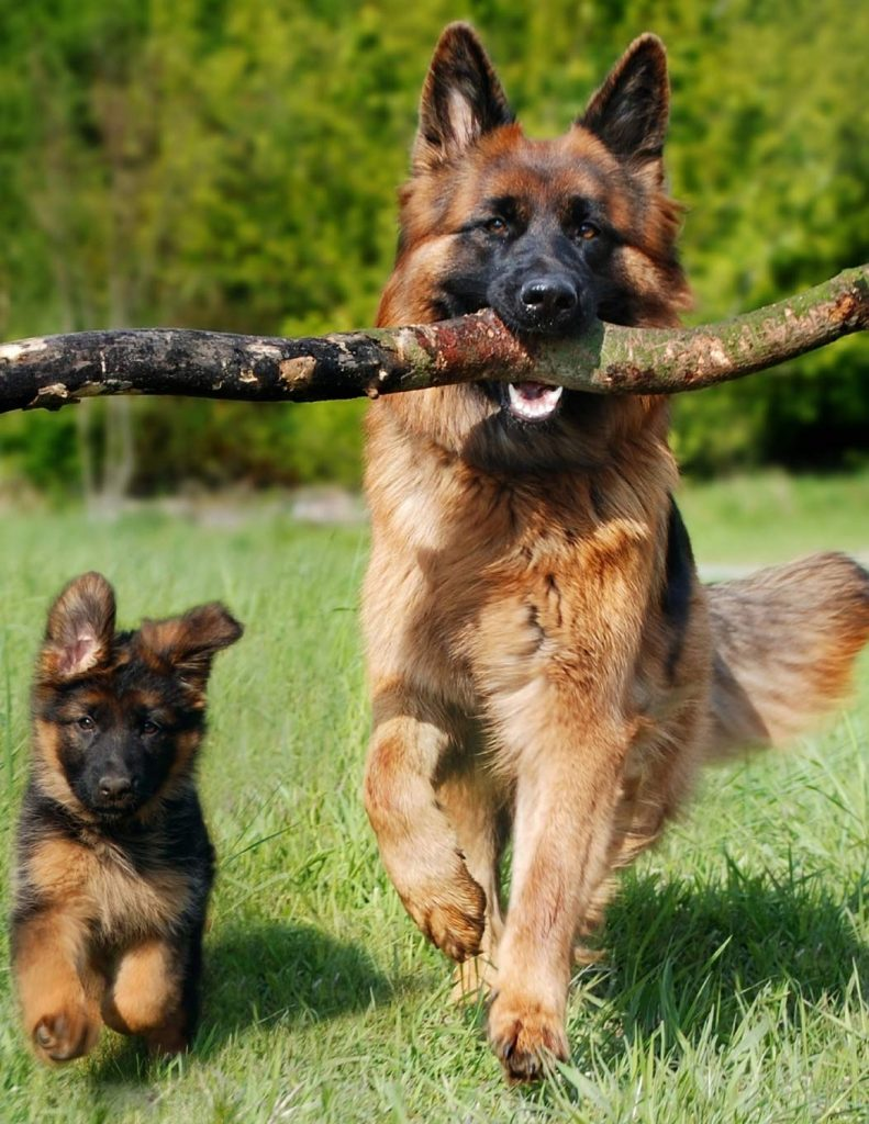 Dangerous Dog Breed: German Shepherd