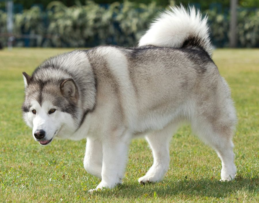 Dangerous Dog Breed: Malamute