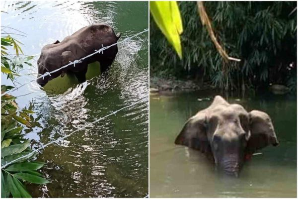 Pregnant Elephant Fed With Pineapple Loaded With Fire Crackers